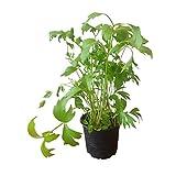 Liebstöckel Pflanze im Zinkeimer: frisches Küchenkraut - Kräuterpflanze - echte Kräuter - Kräuter im Topf - Küchenkräuter