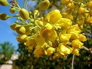 Caesalpinia mexicana, grosse GELBE Blühte den ganzen Sommer durch !!