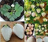 4x Weiße Erdbeeren Ananas Geschmack Pflanzen Pflanze Obst essbar Neuheit BG3