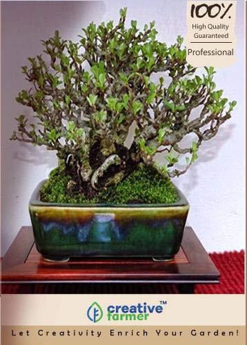 Pinkdose Malabar Palisander Französisch Bonsai-Baum-Samen Seed