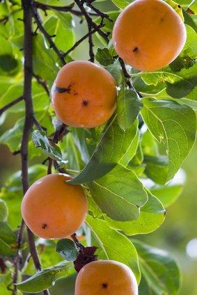 Kaki Pflaume Sharonfrucht 100 Samen