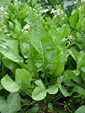 Armoracia rusticana - 3 Pflanzen im 1 lt. Rundtopf