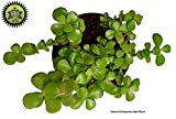#9: Seema Enterprises Green Jade Crassula Lucky Feng Shui Plant (Pot Included) |Good Luck Plant