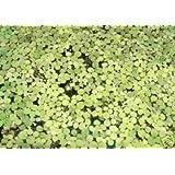 Mühlan Aquatic Plants Plante Lemna Minor flottante anti-algues