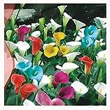 Calla Lily Seeds, AUTFIT Calla Lily Semi di fiori per casa balcone, giardino, cortile, 10 pezzi