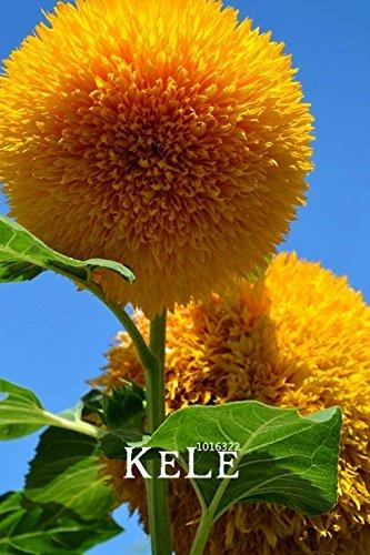 Neue Frische Samen Teddybär Sonnenblumen Samen Sonnenblumensamen Balkon Topfpflanzen Gartenbonsai Blumensamen Leicht zu pflanzen 10pcs