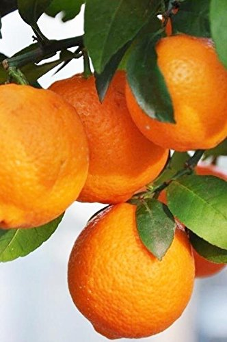 Palmenmann Limettenbaum (Lima rossa) - Citrus limonia