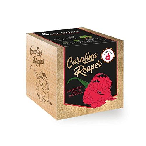 Chilipflanze 'Carolina Reaper' im Holzwürfel - Chili Selection