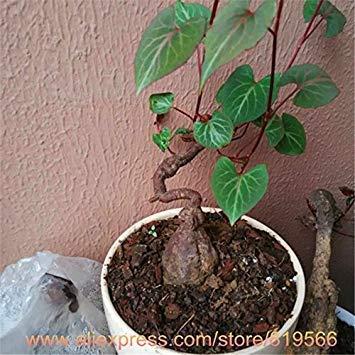 potseed semi 100pcs / sacchetto bianco yucca, sementi di fiori, piante da esterno, tasso di germinazione del 98%, piante in vaso per il giardino domestico