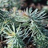 Zypressen-Wolfsmilch - Euphorbia cyparissias - Starkwüchsige, heimsiche Wildstaude