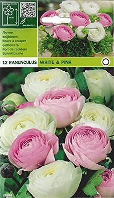 Ranunculus - Ranunkeln - Mischung weiß-rosa von Mosselman bei Du und dein Garten