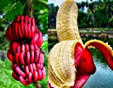 #8: Primrose Gardens Red Banana Seeds , Delicious Rare Fruit Tree Seeds 25 Seeds Pack