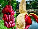 #5: Primrose Gardens Red Banana Seeds , Delicious Rare Fruit Tree Seeds 25 Seeds Pack