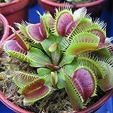 DERKOLY 20 stücke Insektenfressende Pflanze Dionaea Muscipula Riesen Clip Venusfliegenfalle Fleischfressende Samen