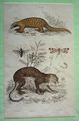 Gravure : Pagolin, Pangonie, Panorpe, Panthère (Dictionnaire pittoresque d'histoire naturelle et des phénomènes de la nature)