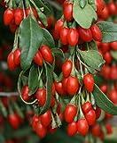 Asklepios-seeds® - 1000 graines de Lycium barbarum, Goji, lyciet commun, lyciet de Barbarie