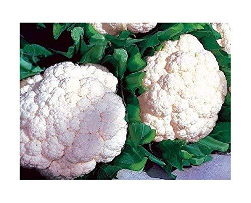 Weiße Blumenkohl Snowball Y Improved - 500 Samen