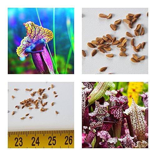 Schlauchpflanze  <strong>Wuchsform</strong>   Horstbildend, Rosettenartig, Rhizombildend