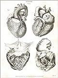 Poster 30 x 40 cm: Anatomie des menschlichen Herzens von Thomas Milton/Fotofinder.com - Hochwertiger Kunstdruck, Kunstposter