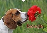 Beagle (Wandkalender 2019 DIN A4 quer): Liebenswerte Schlappohren (Monatskalender, 14 Seiten ) (CALVENDO Tiere)