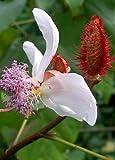 TROPICA - Lippenstift - Strauch (Bixa orellena) - 20 Samen