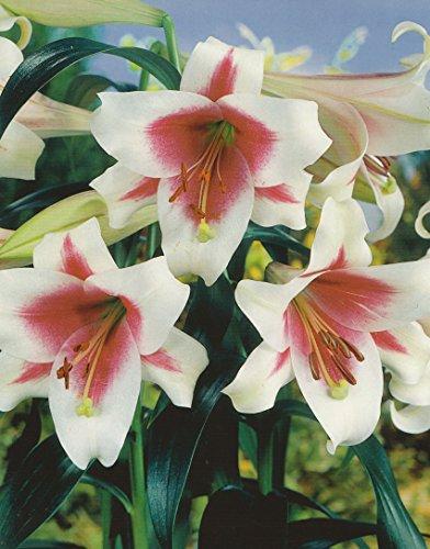 Lilien orientalis -