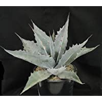 Agave marmorata seeds