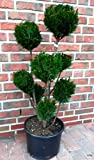 2 Stück Gartenbonsai, Höhe: 100-110 cm, Bonsai, Chamaecyparis lawsoniana Ellwoodii, Scheinzypresse, Kegelzypresse + Dünger