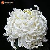 Blumensamen Topf weiße Chrysantheme Samen Schöne Topfpflanzensamen 100 Partikel / lot