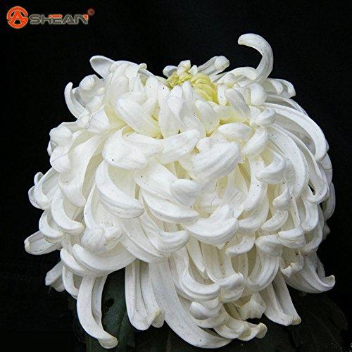semi di fiori in vaso crisantemo bianco semi belle semi pianta in vaso 100 particelle / lot