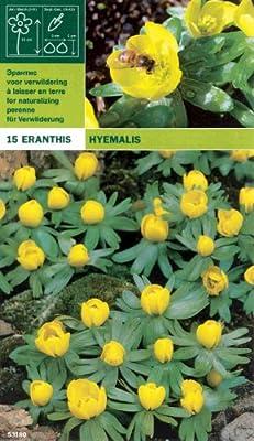 Winterling - Eranthis hyemalis (15) von MOSSELMAN - Du und dein Garten