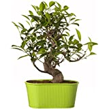 Exotic Green Indoor Plant 6 Year Old S Shape Ficus Bonsai In Green Metal Pot