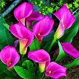 Pinkdose Blumenzwiebeln, bunt, Calla-Lilie, für echte Calla-Lilien, 14 Stück