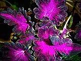 Coleus Black Dragon - Buntnessel - 10 Samen