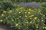 Großblumiges Johanniskraut 'Hidcote' Hypericum im Topf gewachsen ca. 30-40cm