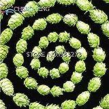 Vistaric Freies Schiff 20 Stück Hopfen. Humulus Lupulus Seeds Seltene Bierblütenpflanzen Form Rhizome 2016 Jardin Neue Bonsai Semente Plantas Verkauf