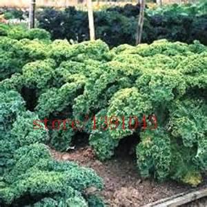 200pcs/semences Sac Earthcare Kale Bleu Scotch acurrucado semences de légume plante de patio pour la maison et le jardin