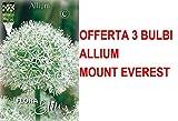 OFFERTA 3 BULBI AUTUNNALI ALLIUM MOUNT EVEREST BULBS BULBES