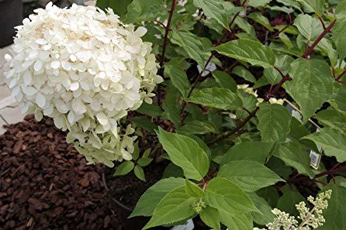 Evergreen orto rialzato fioriera in lamiera bianco 55x55x80cm giardino flora-05