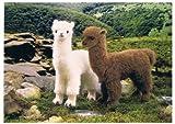 Kösener Alpaka weiß 30 cm