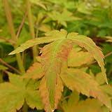 Acer palmatum var.shin-nyo - Arce japones palmeado - Maceta de 7,5Litros