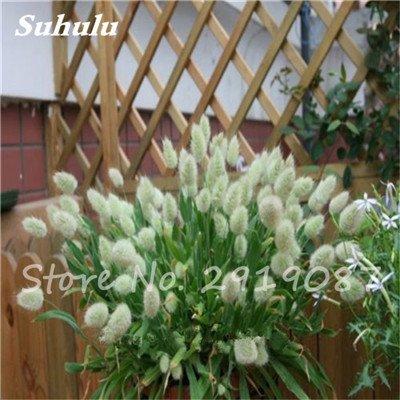 Nouveau ! 100 Pcs mixte herbe queue de lapin Graines Bonsai Jardin d'ornement Plantes Fleurs en pot Illuminez votre Manor, graminée 13