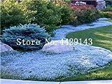 IDEA HIGH Semi-100 Pz Rare ROCK Cress Bonsai Pianta rampicante Timo Pianta Perenne copertura del suolo fiore per la casa decorazione del giardino: 17