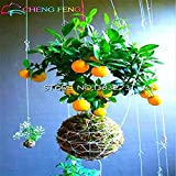 Pinkdose® 50 Teile/beutel Lemon Tree Bonsai Hohe Überlebensrate Obst Bonsai Für Zuhause Gatden Balkon Günstige Japanischen Topf: Hellgrau