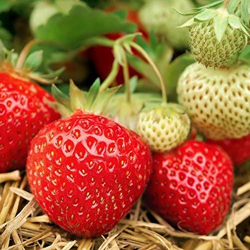 Portal Cool 20 Samen Strawberry Mara Des Bois Bio Bio Gourmet De Super Sweet