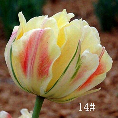 Ncient 100pcs/Sac Graines Semences de Tulipe,Parfum Tulipe Seed Plantes Vivaces Graines à Planter Bonsaï de Jardin Balcon