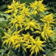 GOOD SIZE ROOT BALL OF SOLIDAGO CANADENSIS GOLDEN ROD PERRENIAL PLANT