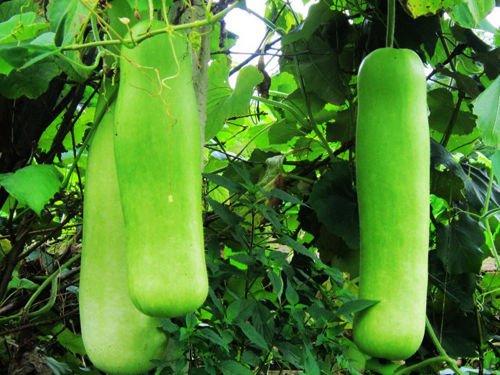 Portal Cool Flaschenkürbiskernöl 6 Samen Lagenaria Siceraria Grüne Ökologie Gemüsegarten B054