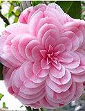 Keptei Samenhaus- 10 Stück Kamelie Camellia japonica Saatgut Blumensamen Topfpflanzen japanischen Kamelie Samen frosthärt mehrjährig