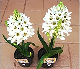 Kriti Kalash Chincherinchee Flower Bulbs, Light Fragrant Small Size Bulbs Superb Cut Flower 21 Bulbs Height approx. 50cm Flower Amazing Beautiful Flower Winter Season